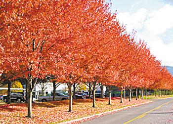 美国改良红枫装点的街道。