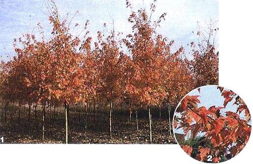 1、2'夕阳红'红花槭