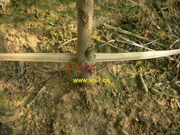 美国红枫扦插苗的茎干基部有明显的插穗遗迹