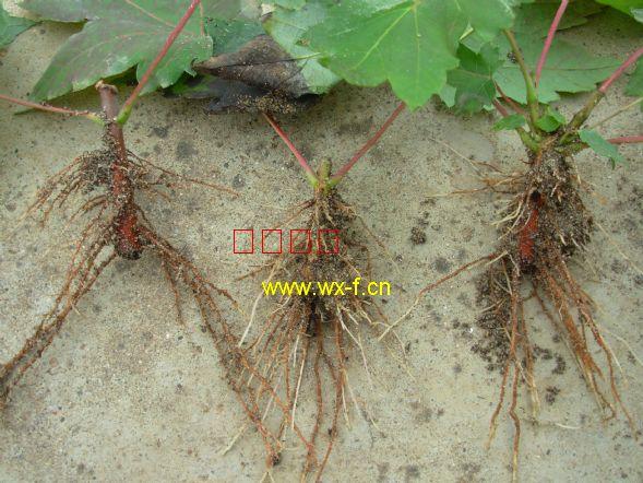 美国红枫扦插苗的根全部是侧根,向四周沿地表放射状伸展
