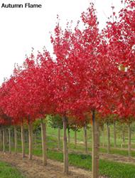 美国红枫秋日烈焰