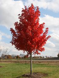 美国红枫夕阳红